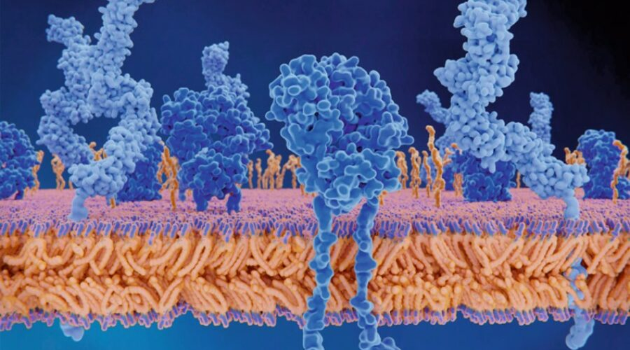 HLA proteins and T cell receptors